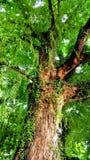 Big tree. Stock Image