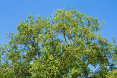 Big tree with green leaf on blue sky background Royalty Free Stock Photography