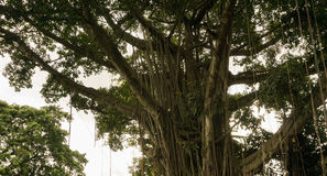 Big tree with green leaves photo taken in Bogor Indonesia Stock Photos