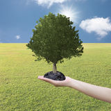 Big Tree grown in the hand and lawn. Stock Photo