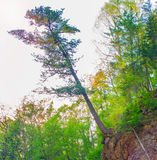 Big tree hanging on the edge of the cliff, steep rock and edge keeps the roots of a tree. Royalty Free Stock Image