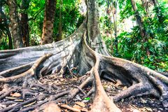 Big Tree Have Buttress Root Royalty Free Stock Photography