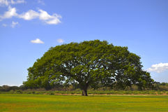 Big Tree Stock Images