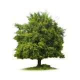 Big Tree isolate Royalty Free Stock Photo