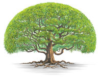 Big tree03. A big tree isolate on white background Stock Image