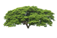 Big tree isolated, Common name : saman, rain tree, monkeypod, gi. Ant thibet, inga saman, cow tamarind, East Indian walnut, Binomial name : Albizia saman Stock Image