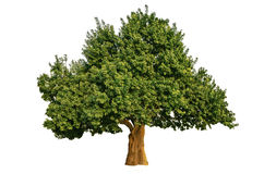Big Tree Isolated. Big green tree on white background Royalty Free Stock Image