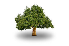 Big Tree Isolated. Big green tree on white background Royalty Free Stock Photography