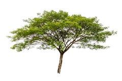 Big tree isolated Royalty Free Stock Photo