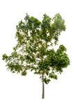 Big tree isolated Royalty Free Stock Photos