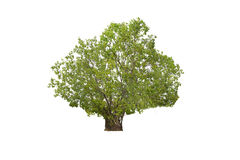 Big Tree isolated on white background Royalty Free Stock Image