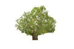 Big Tree isolated on white background Royalty Free Stock Image