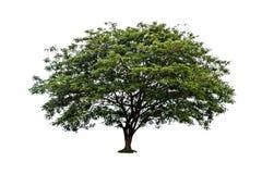 Big tree isolated Royalty Free Stock Photography