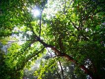 Jungle on sunrises. Big tree in the jungle Stock Images