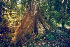 Big tree in jungle rainforest. Nature background Royalty Free Stock Image