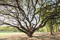 Big tree on the lawn Royalty Free Stock Photography