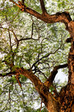 Big tree with leaf Royalty Free Stock Images