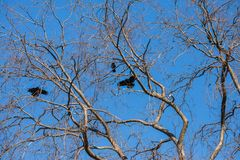 Big tree leafless. In winter, with crows and blue sky stock photos