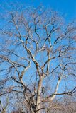 Big tree leafless. In winter, with crows and blue sky stock images