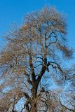 Big tree leafless. In winter, with crows and blue sky royalty free stock photo