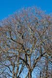 Big tree leafless. In winter, with crows and blue sky royalty free stock photography