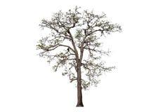Big tree leafless. Isolated leafless tree isolated on white background royalty free stock images