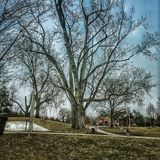 Big Tree. Leafless tress in the middle of the park Stock Image