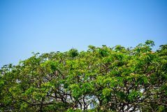 Big tree leave and branch with clean sky background. Conserve world with tree concept Stock Images