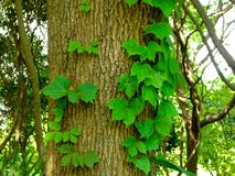 A big tree with leaves growing on it Stock Image