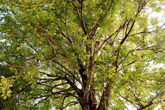 The Big tree in Little garden Royalty Free Stock Image