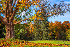 Big tree losing the leaves Royalty Free Stock Image