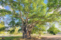 Big tree with lush foliage Royalty Free Stock Photography