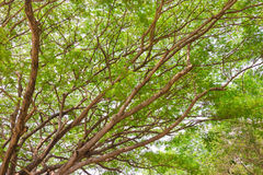 Big tree with many branches Royalty Free Stock Photo