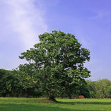Big tree in meadow Royalty Free Stock Photography