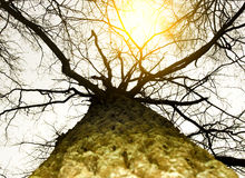 Big tree in a misty forest Royalty Free Stock Images
