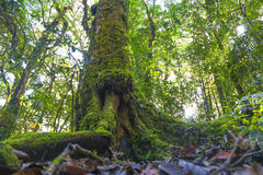 Big Tree and moss in the Forests,Rain-forest Royalty Free Stock Photo
