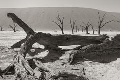 A big tree in the Namib desert Royalty Free Stock Image