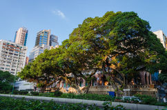 Big tree in Nathan road. Trees in the city beside Nathan road Royalty Free Stock Photos