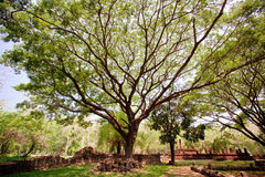 Big Tree in the National Park Thailand Stock Image