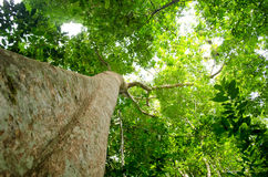 Big tree. Natural have big tree in the rain forest Royalty Free Stock Images