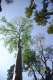 Big tree in the wide with bamboo pin Stock Photography
