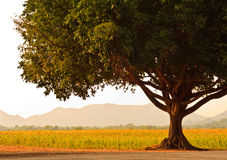 A Big Tree near Sunflower field. Royalty Free Stock Photo