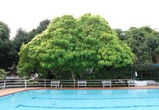Big tree near the Swiming pool cleanliness  at  Thailand. Big tree  near the Swiming pool cleanliness nobody swim Stock Image