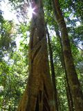 Big tree in Noosa National Park. In Australia royalty free stock images