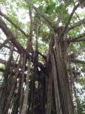 Big tree old Stock Photography