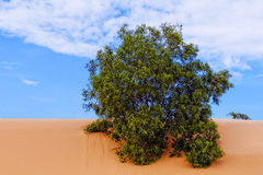 Big tree and one bush in the sand Stock Photos