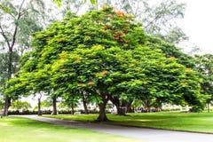 Big_Tree Stock Image