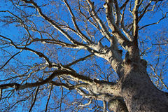 Big tree over blue sky Royalty Free Stock Image