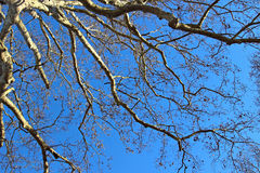 Big tree over blue sky Stock Photos