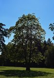 Big tree in the park on blue sky background royalty free stock photos
